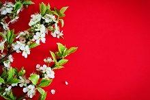 flowering cherry branch