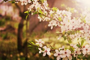 flowering cherry tree