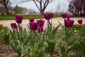 Bed of purple tulips