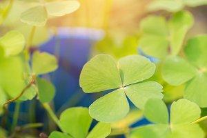 Green leaf clovers