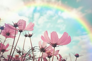 Pink cosmos flowers and rainbow.