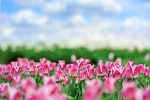Tulips in spring field