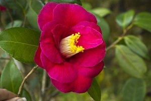 flower, camellia