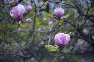 macro soft focus magnolia