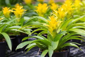 Yellow Bromeliad