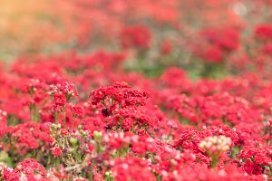 red little flowers.
