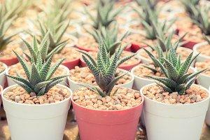 Haworthia Mix, cactus
