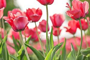 Blooming spring pink tulip flowers