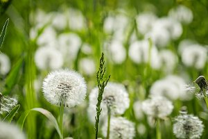 White soft dandelion green summer background