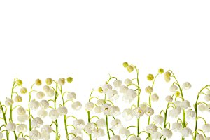 Lily of the valley  flowers isolated