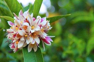 Flowers of the Meyer Lemon