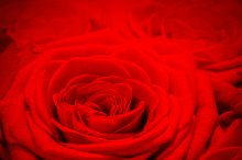 Red rose background.