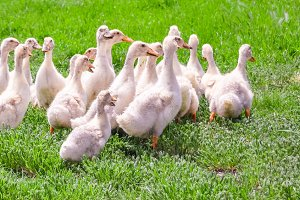 Young geese walking