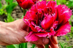 caring for tulip