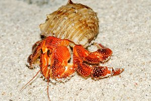 Beautiful Hermit Crab