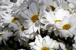 Chamomile - Camomile flower bouquet, close up view