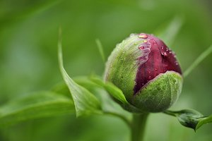 Red Peony Bud with Water Droplets
