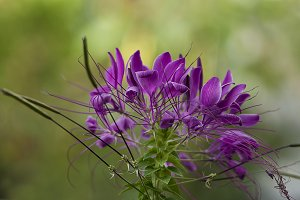 Purple Petals, Soft Green Background