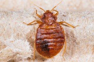 Cimex lectularius, bedbug