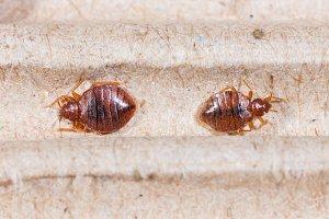 Cimex hemipterus, bedbug