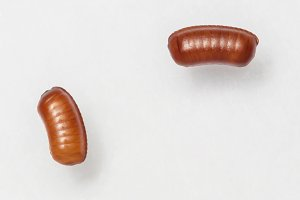 Smooth cockroach egg sacks