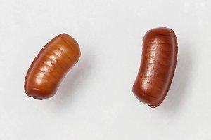 Smooth cockroach egg sacks