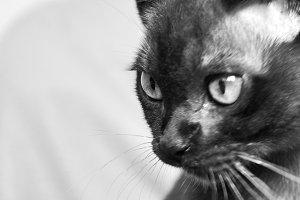 Makuti Cat
