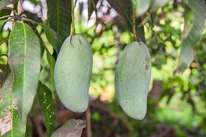 Green mango on tree