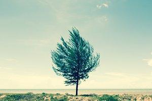 Alone pine tree