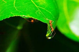 Macro red ant