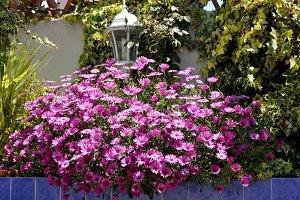 rockery purple daisies