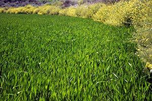 wheat green field