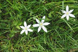 Star of Bethlehem flower