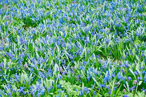 Scilla sibirica and Hollowroot