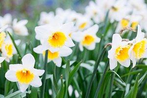 Daffodils (Narcissus)