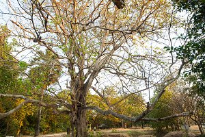 old giant tree