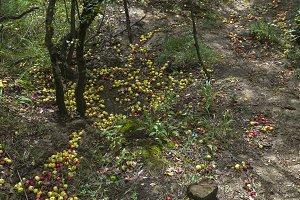 Wild apples on the ground.