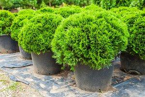 Evergreen cypresses