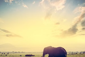 Elephant on African savanna.
