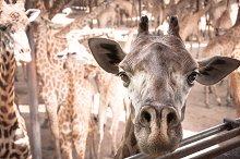 Face of giraffe