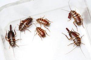 Harlequin cockroach