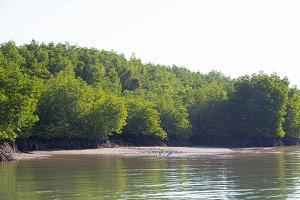 Mangrove forest soil