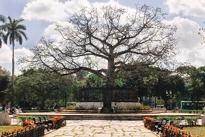 Big old tree growing alone in a park, Havana, Cuba.