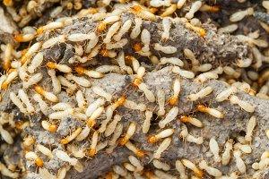 Termites or white ants