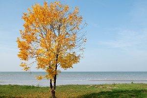 Autumn yellow tree at seaside