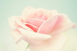 sweet pink rose in soft color