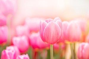 pink tulip in garden