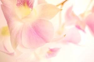 Pink orchids in sweet color