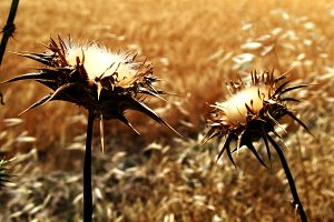 thistles in wheat field