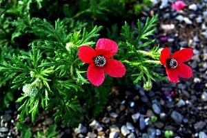red wild poppy
